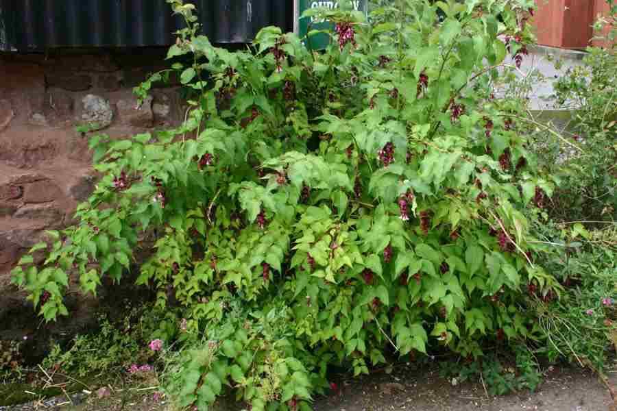 Leycesteria Plant